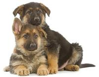 chiots-berger-allemand-1_medium
